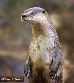 River Otter image courtesy DEEP